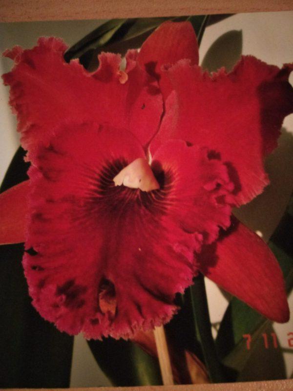 красная орхидея крутой нрав