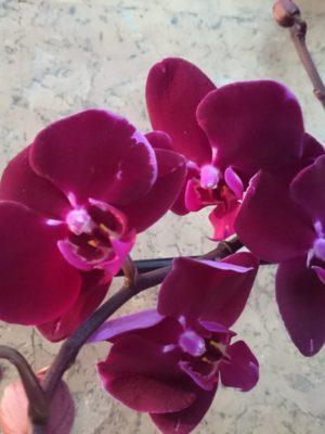 бордовая орхидея