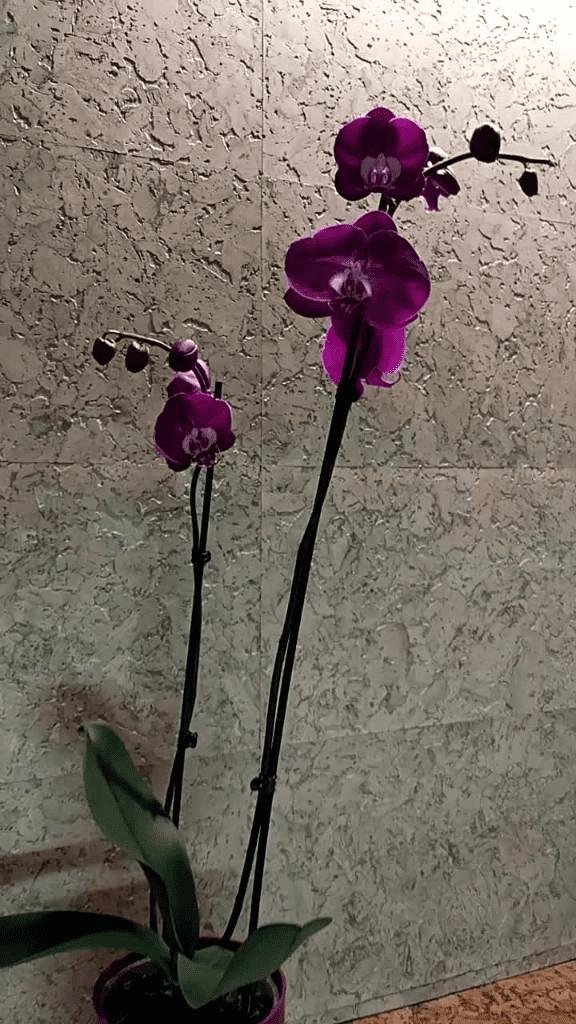 Фаленопсис Соренто