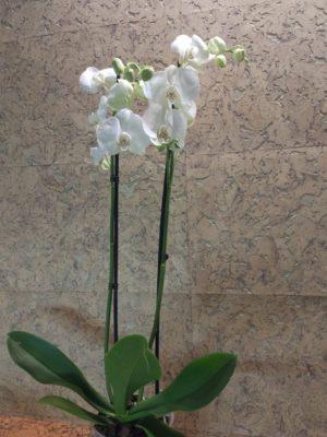 Фаленопсис Снежный барс