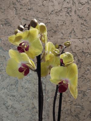 Фаленопсис Золотой петушок
