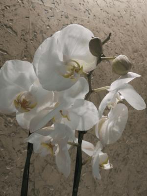 Фаленопсис Белая фата
