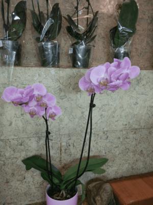 Фаленопсис Розовая мечта