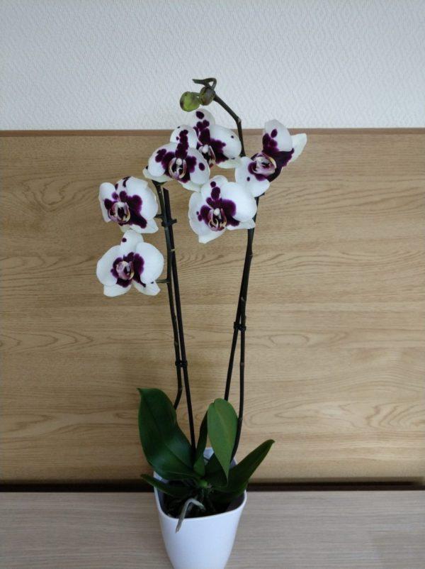 орхидея саманта