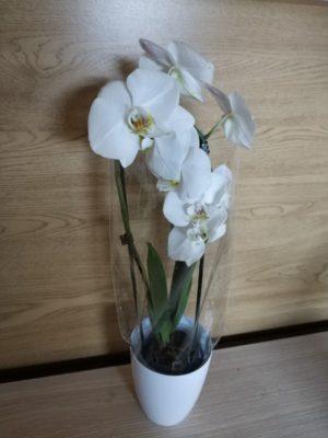 Фаленопсис Снежинки