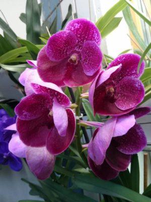 орхидея ванда вишнёвая метель