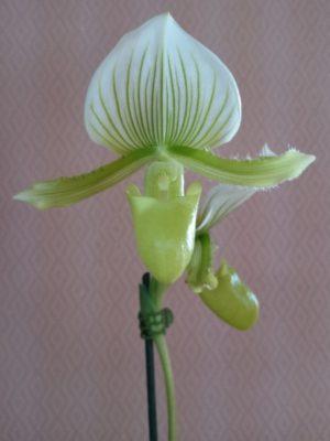 зелёная орхидея зеленый мауди