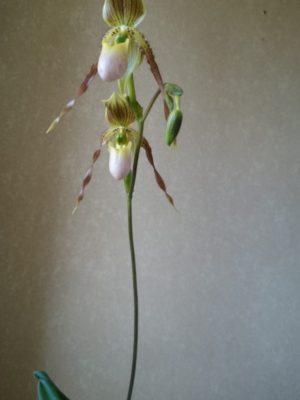 Пафиопедилум филиппинский