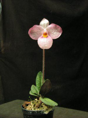Пафиопедилум розовая орхидея