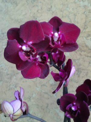 Фаленопсис Вишневый сад