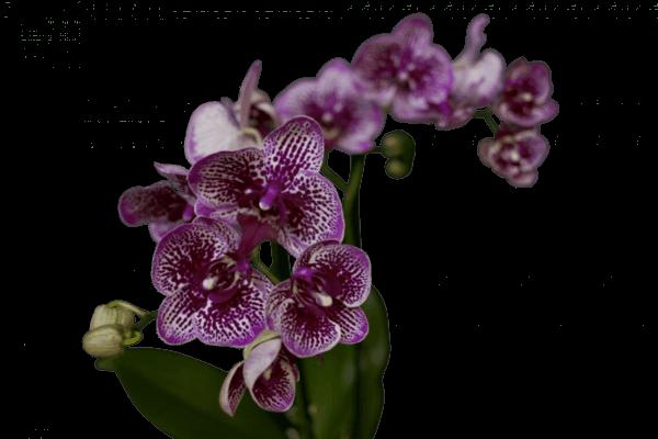 орхидея медный всадник