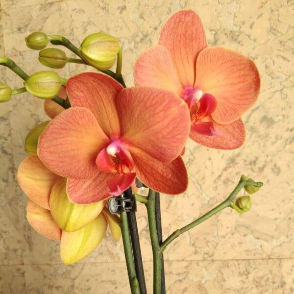 орхидея дания